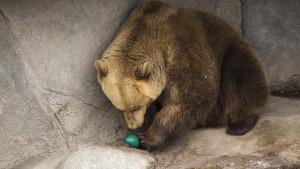 Björn äter emuägg