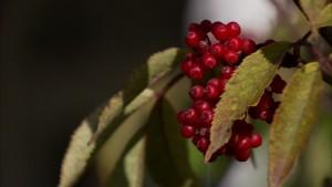 Rönnbär på Strömsö