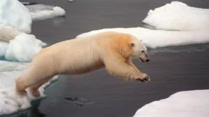 En isbjörn hoppar från ett isflak till ett annat