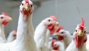 antibiotics in poultry