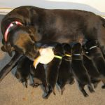 Field Bred Black Lab Puppies