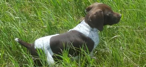 German Shorthair Litter