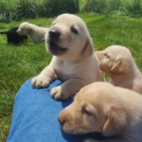 Lab Puppies - Yellow and Black!