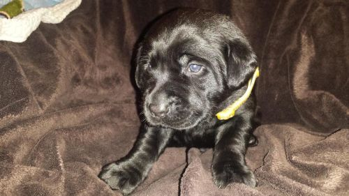 AKC Labrodar Puppies Available 5/27
