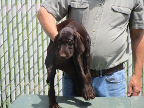 German Wire Hair Pointers Pups
