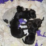 GWP Puppies