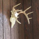 White Tail Mounts