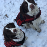 AKC Springer Spaniel Puppies