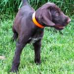 German Wire Hair Pointer Pups