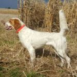 English Setter Puppies - Males