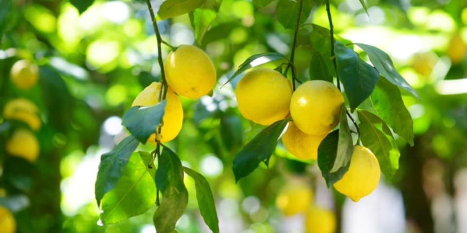Nicholson and Tanoira steer citrus exporter share offering