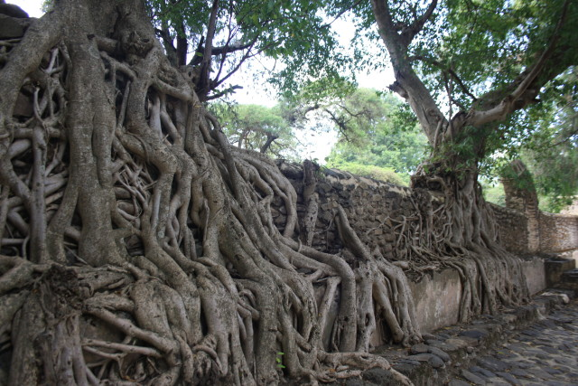 Tree roots growing over the sides of the bath, searching for water