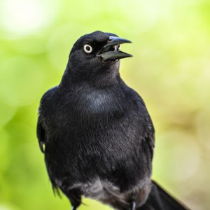 Talking Grackle in Grand Cayman - Photography