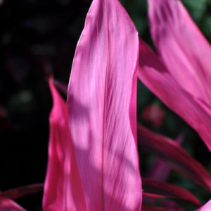 Pink Cordyline Detail - Photography