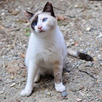 Tuscan Cat with Beautiful Blue Eyes - Photography