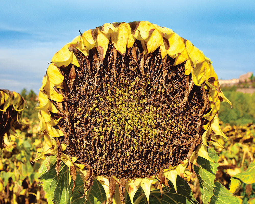 Dry Sunflowers in Tuscany - Photography