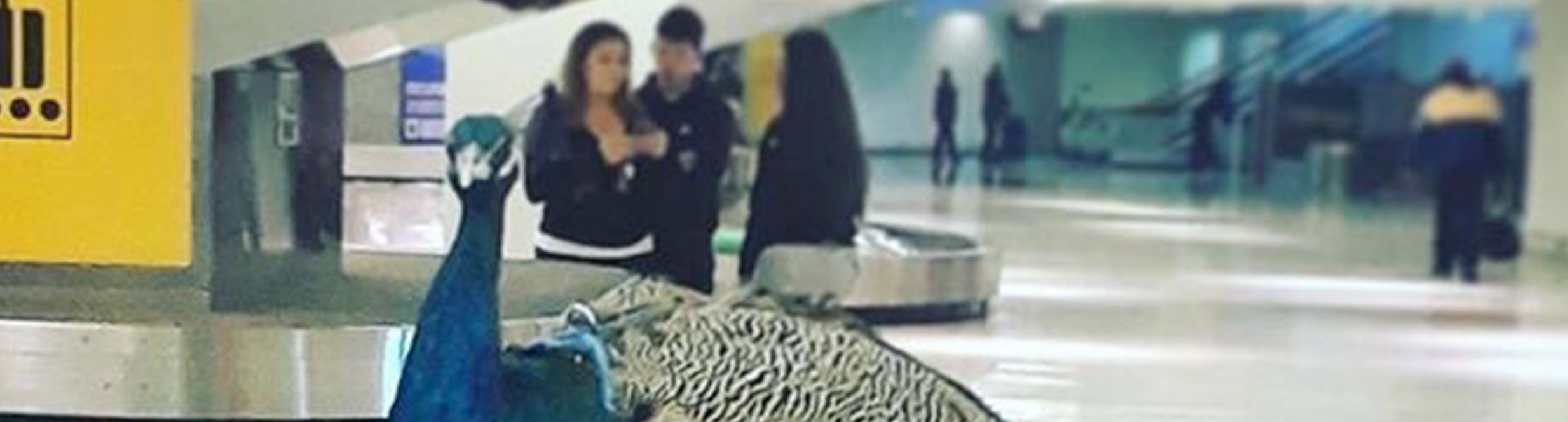 How To Get Your Peacock To Fly Business Class With You-post-image