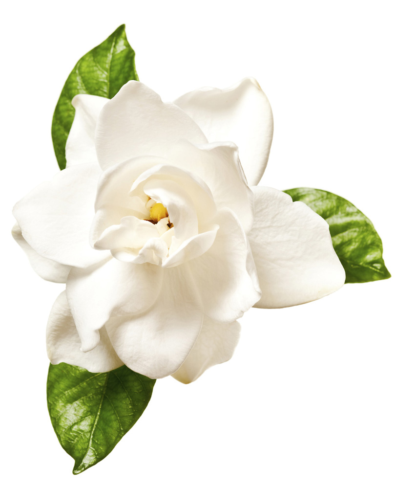 Gardenia Extract Lush Fresh Handmade Cosmetics Uk