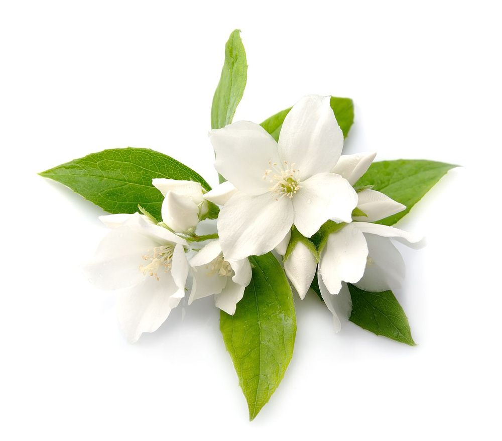 Jasmine Flower Infusion Lush Fresh Handmade Cosmetics Uk