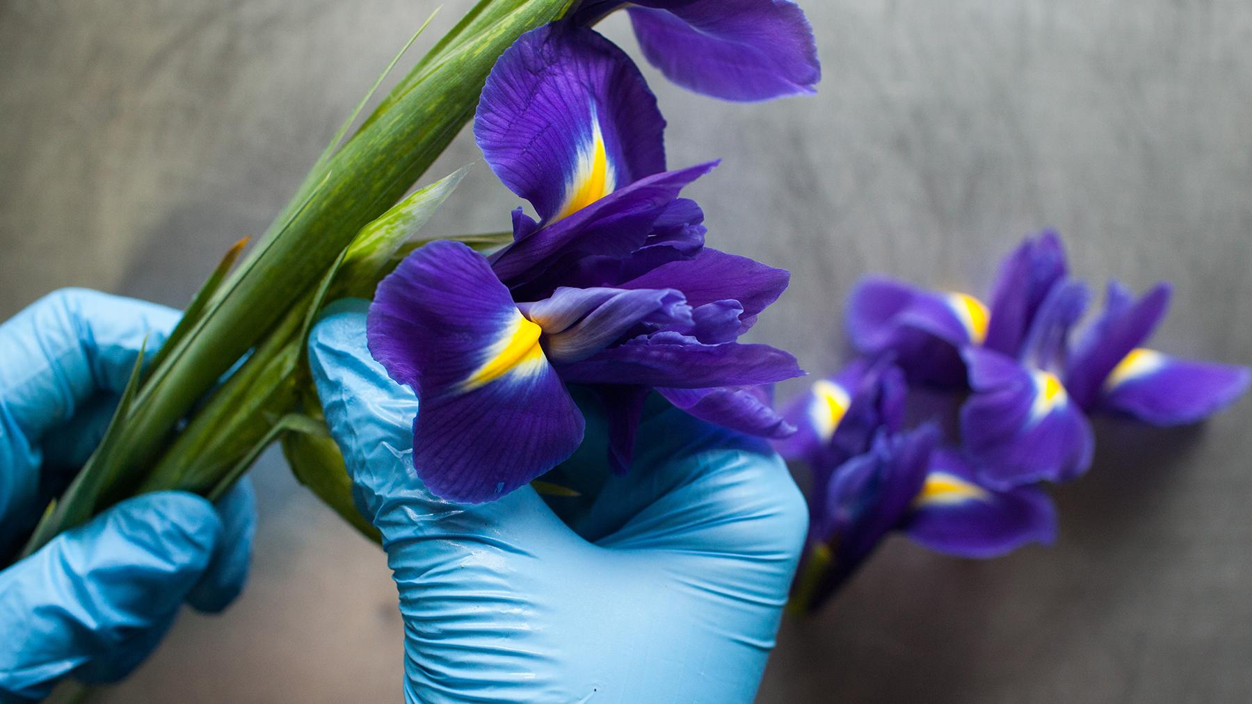 Fresh Iris Extract Lush Fresh Handmade Cosmetics Uk