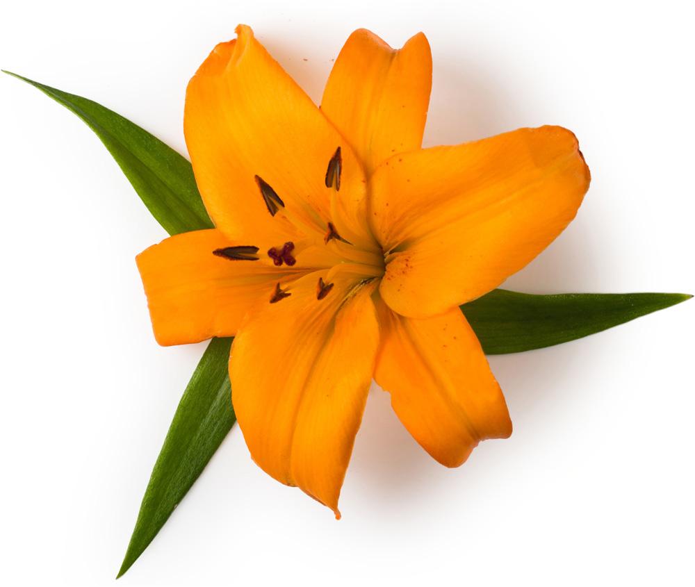 Tiger Lily Petals Lush Fresh Handmade Cosmetics Uk