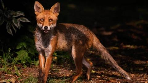 The Fox Project | Sue Williams