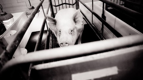 Inside a Virtual Slaughterhouse | Toni Shephard, Animal Equality UK