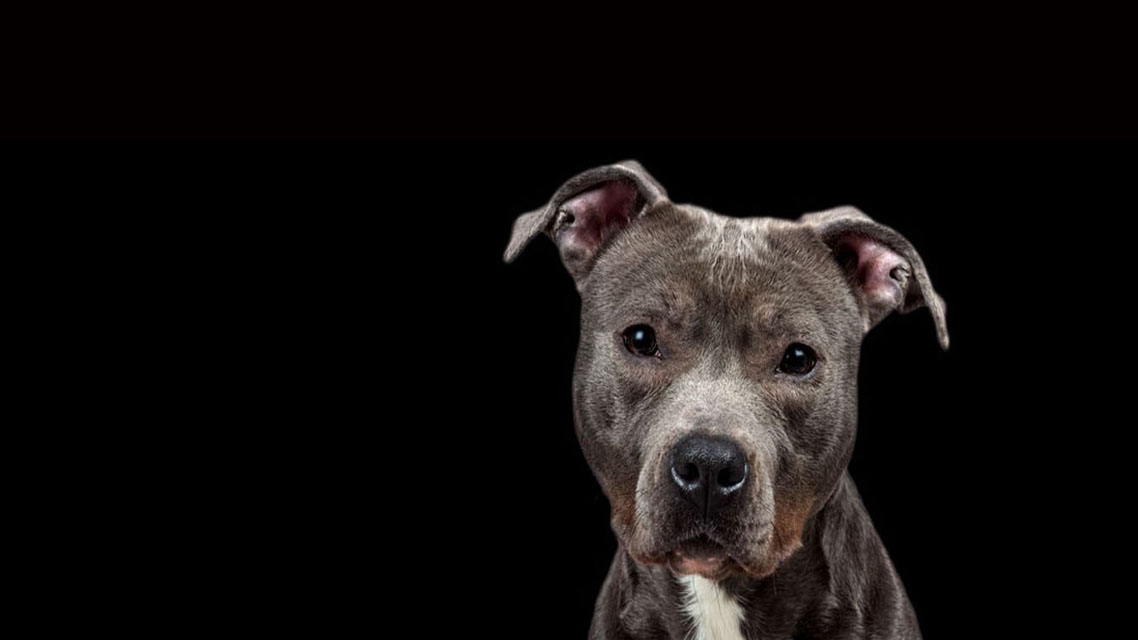 Investigating Dogfighting | Investigator contracted to League Against Cruel Sports