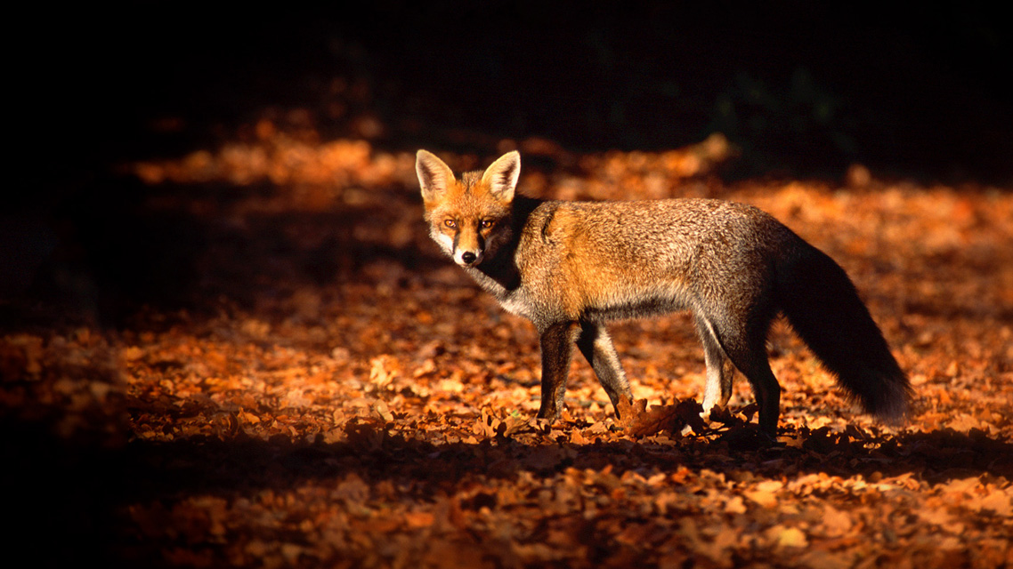 Defending the Hunting Act | Blue Fox