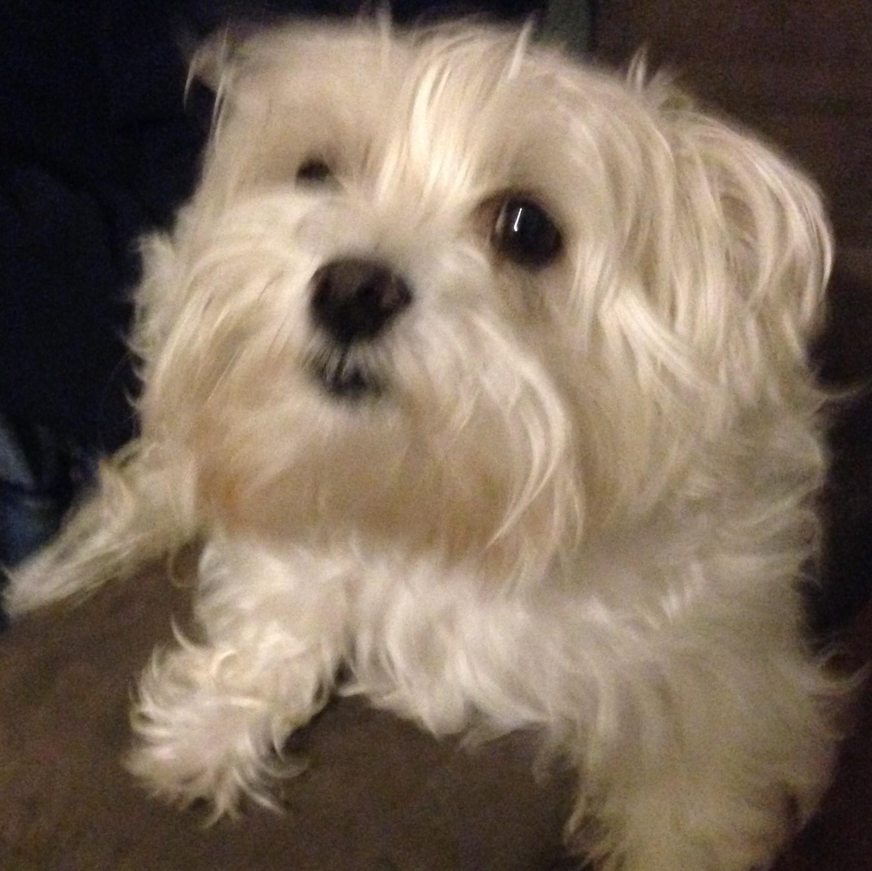 small dog white morkie