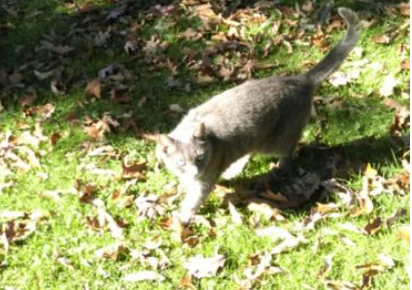 grey cat outside in the grass