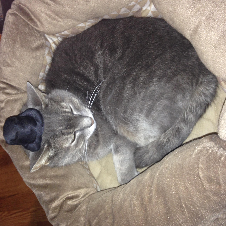 grey cat with black top hat
