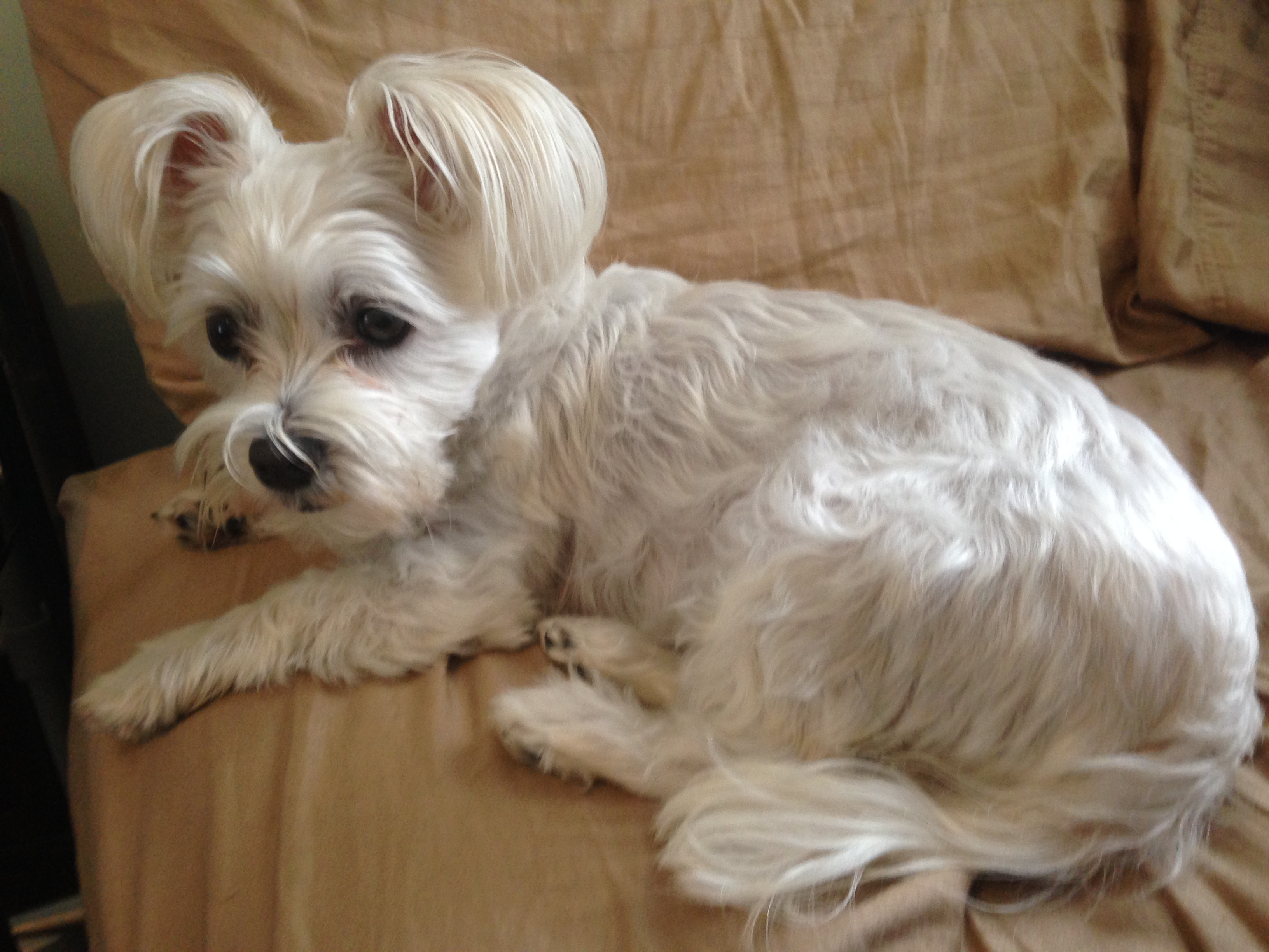 white small dog laying down