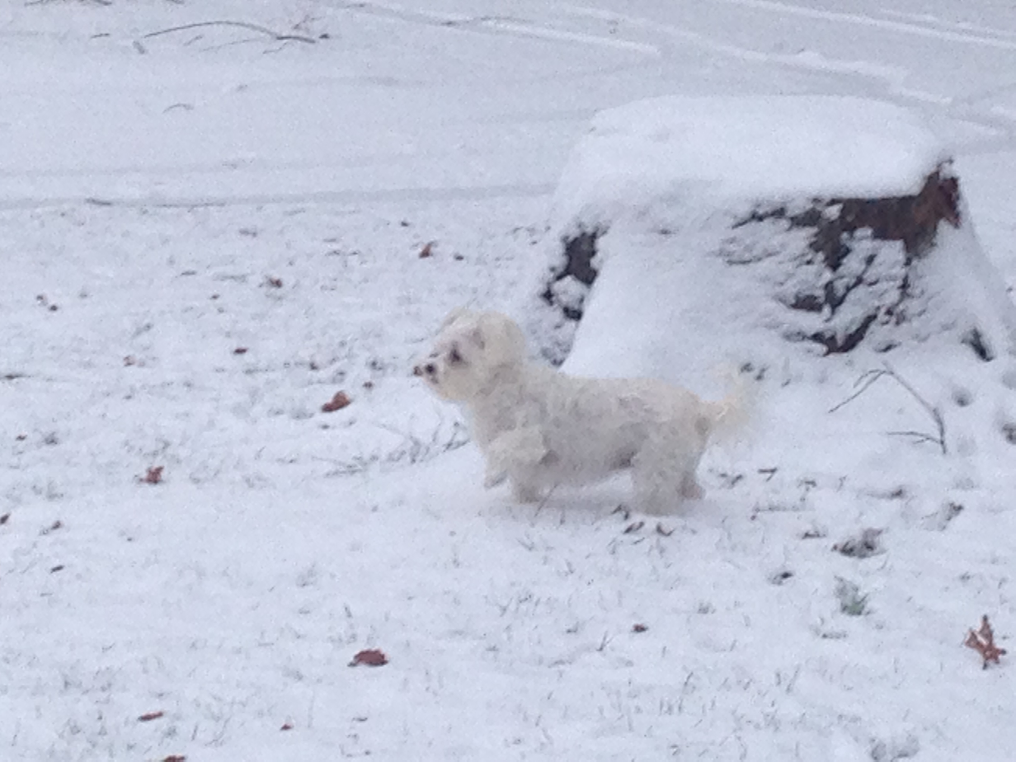 white small dog by stump in the snow