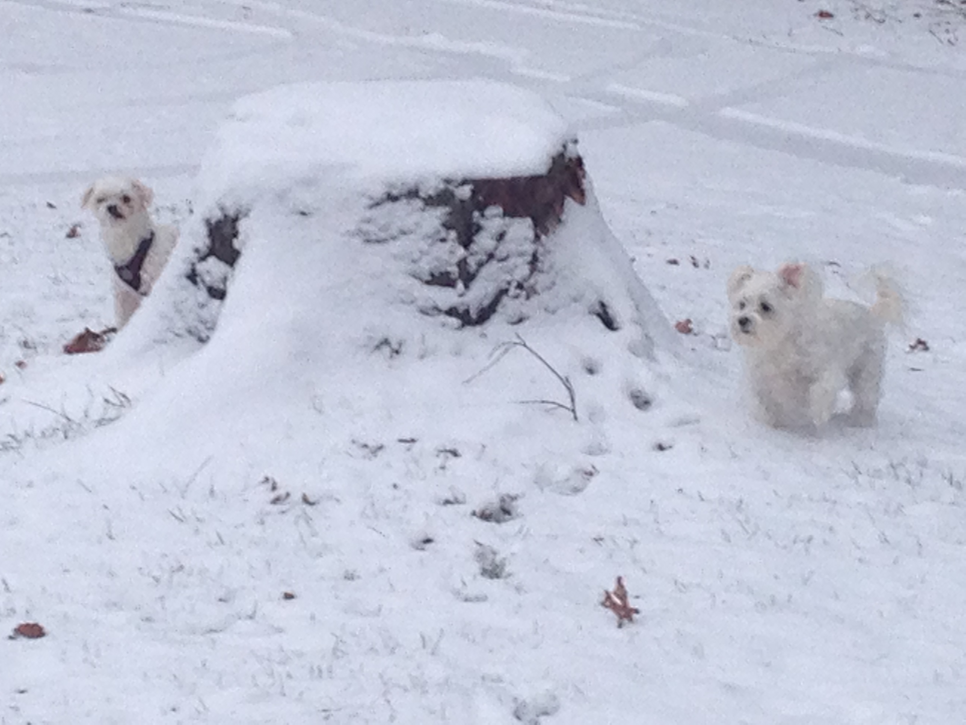 small dogs white morkie and white maltese standing around a stump in the snow