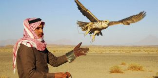 A falcon flies from the glove of its Saudi trainer during a hunting trip in the desert near Tabuk, 1,500 km (932 miles) from Riyadh.