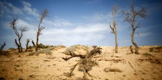 Dead trees are seen near the dried up Shiyang river on the outskirts of Minqin town, Gansu province, China