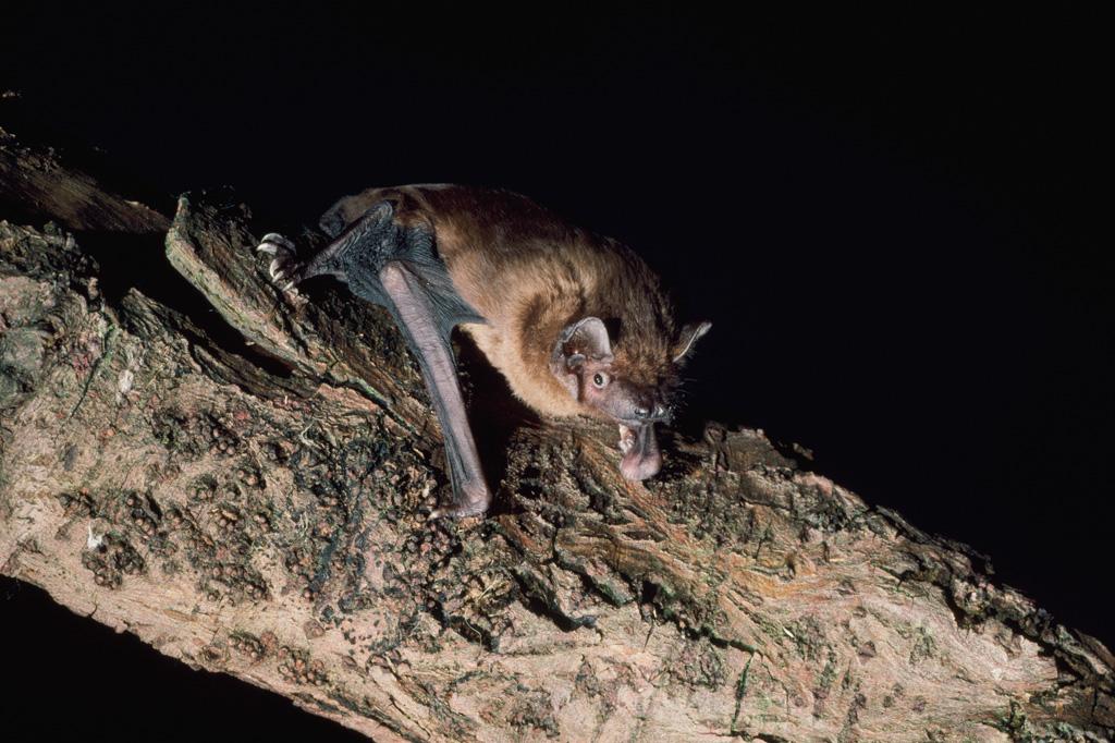 2502.noctule bat