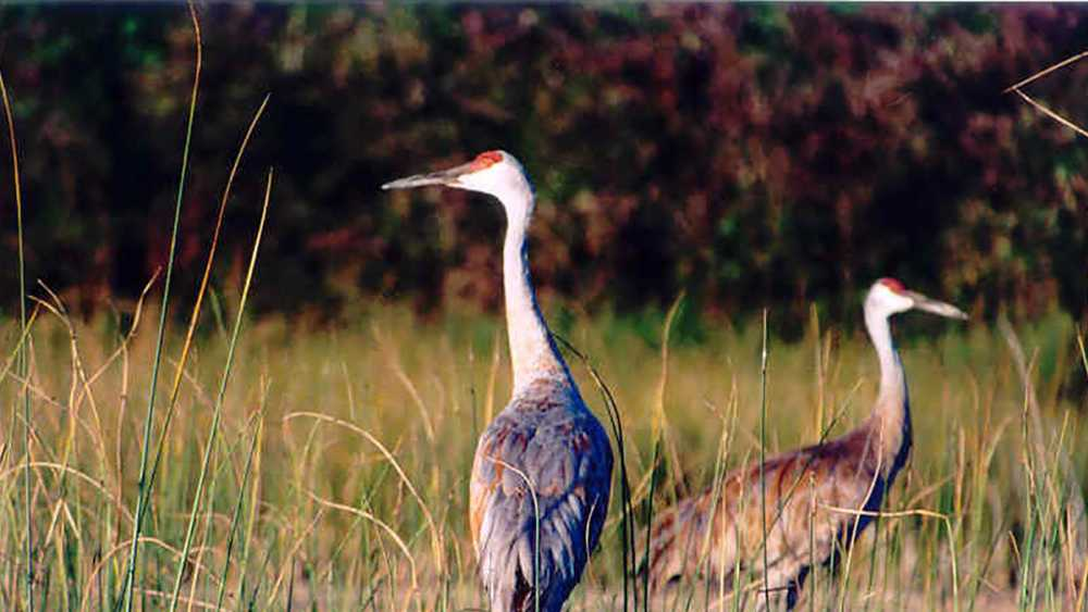 Cranes in the tall grass at Brighton Recreation Area.