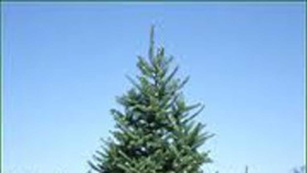 Christmas Tree Farms In Southeast Michigan