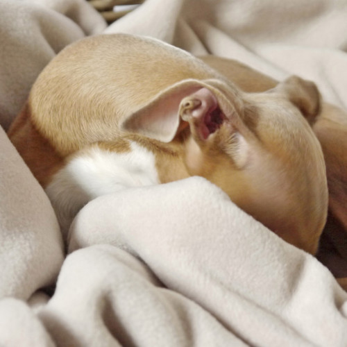 Charley Chau Double Fleece Oyster Dog Blanket