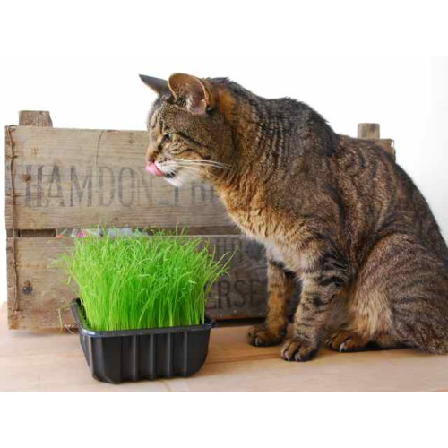 The Natural Pet Toy Company Grow Your Own Cat Grass