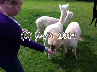 Alpacas eating from our hands