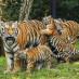 Tigar Animal