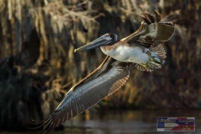 Ralph's flying pelican