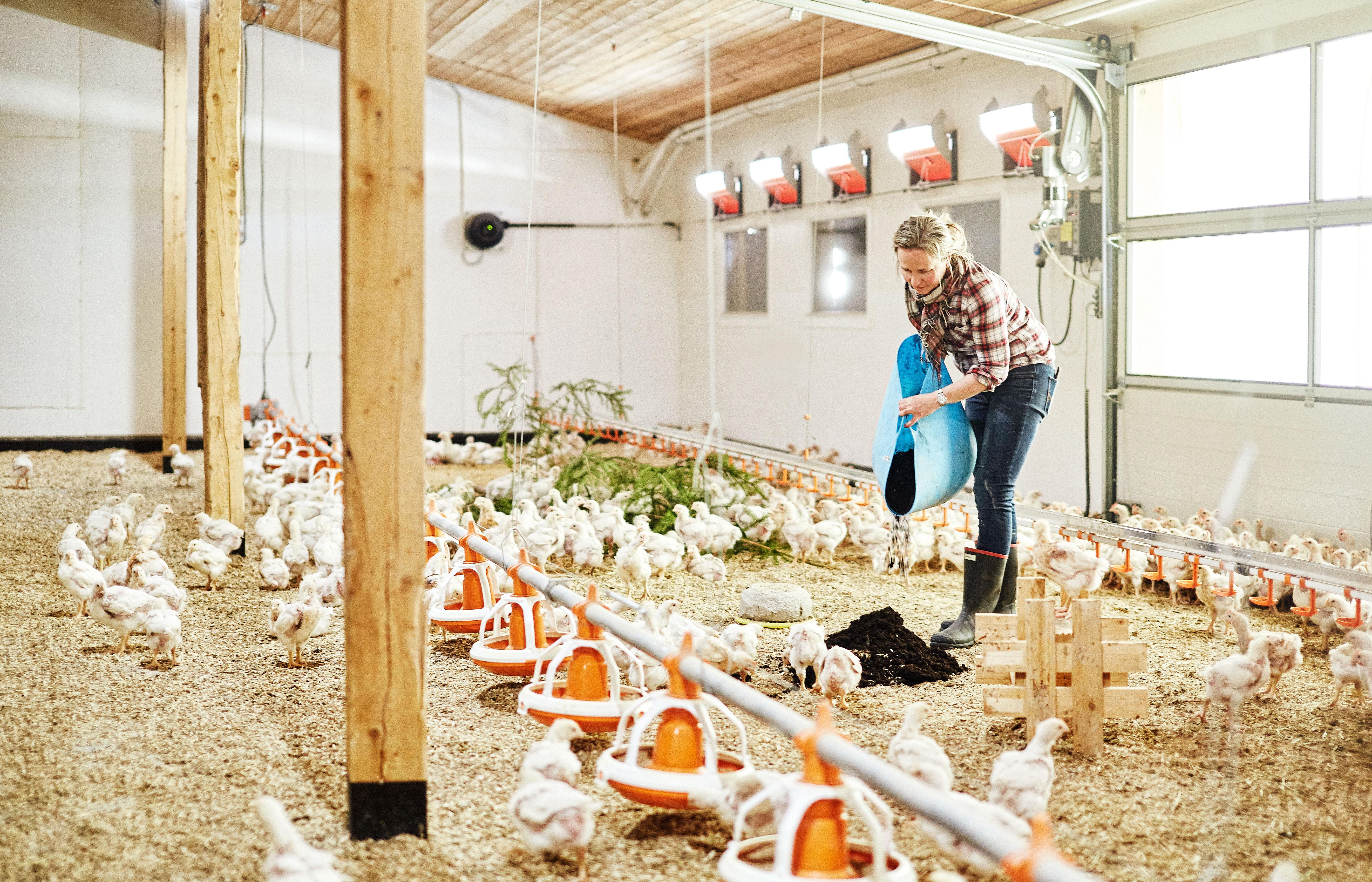 GOD PLASS: Kyllingene på Hovelsrud gård lever i et stimulerende miljø med vagler, høy og sandbad. De har naturlig lys og kan gå ut og inn som de vil.