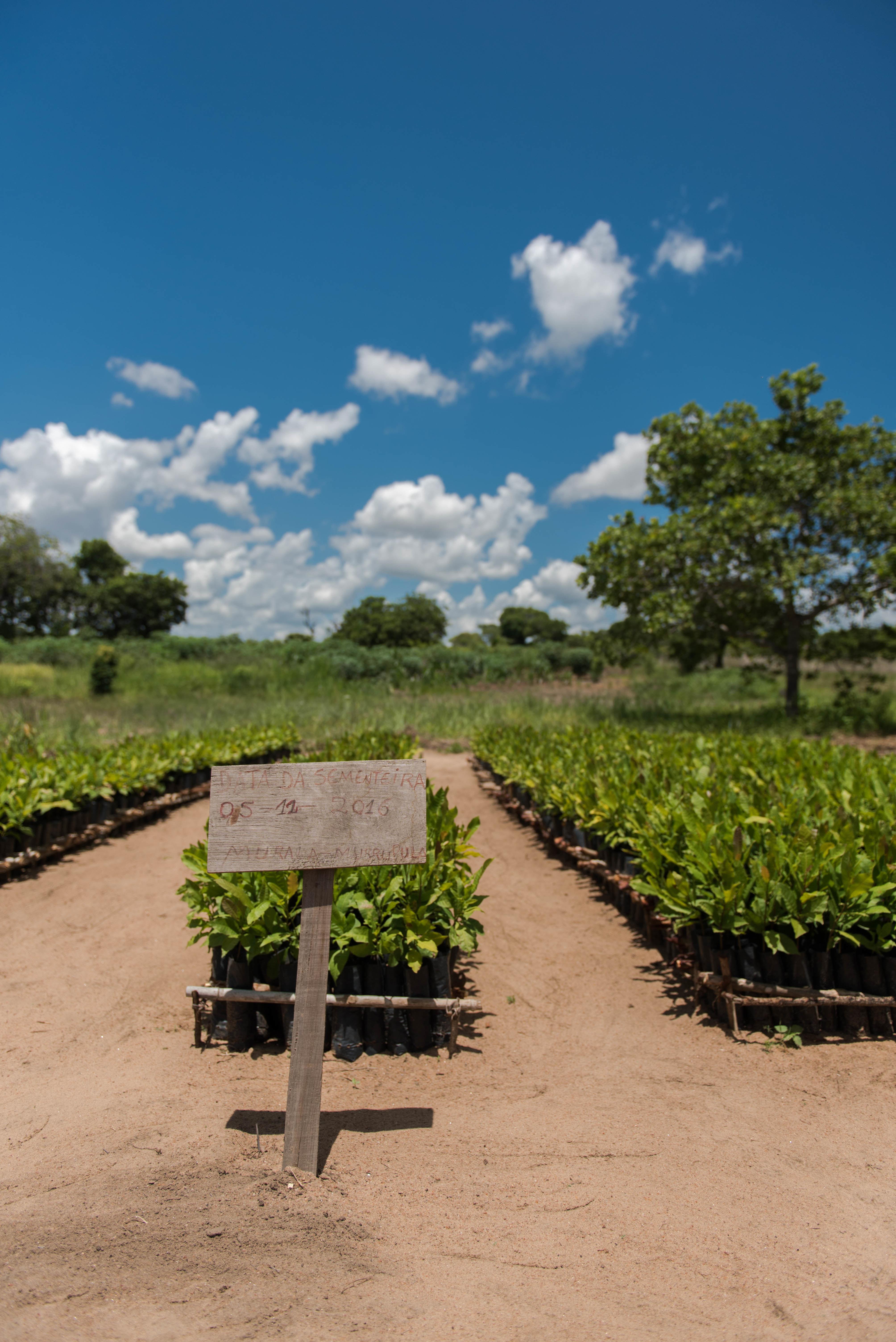Stiklingene vokser til. Her fra en planteskole med noen av cashewtrærne som er blitt plantet.