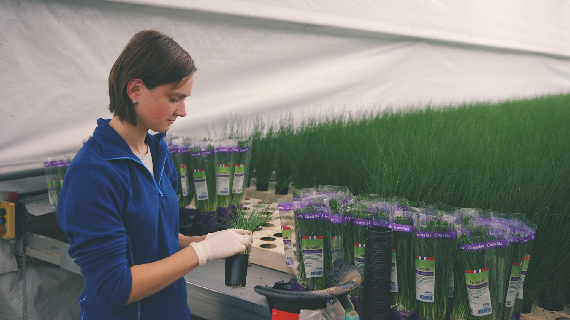 I veksthuset produseres det urter året rundt, et spesialsystem i taket sørger for optimale forhold også på vinterstid.