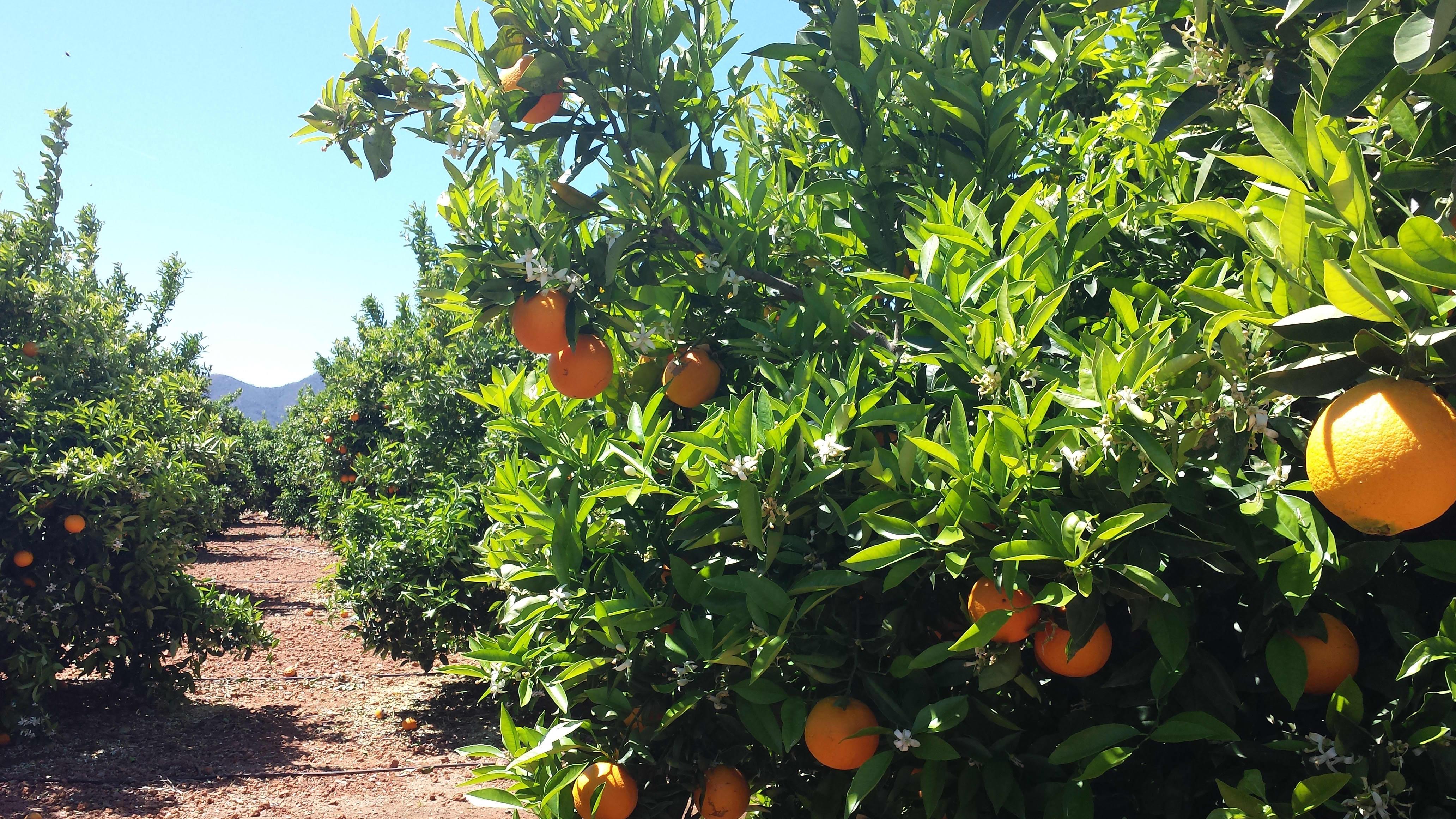 Bare de ytterste appelsinene på solsiden av appelsintreet er med i vurderingen om å bli en Cevita-appelsin.