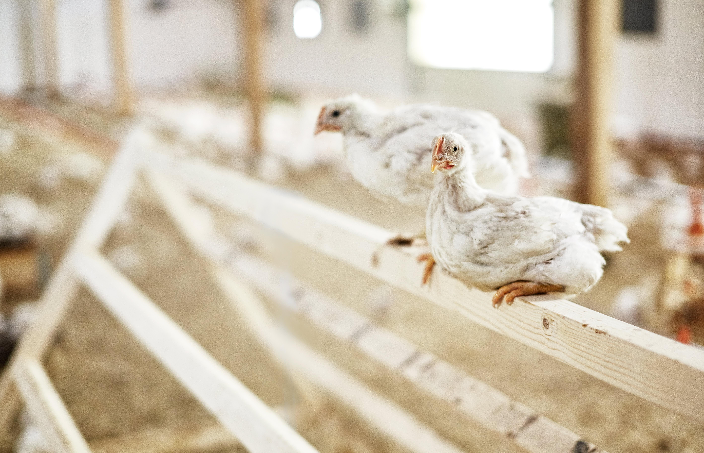LANGT LIV: Kyllingen fra Hovelsrud gård er økologisk, og av en saktevoksende rase.